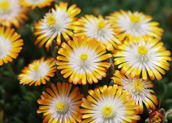 Delosperma Jewel of Desert Topaz flower close-up