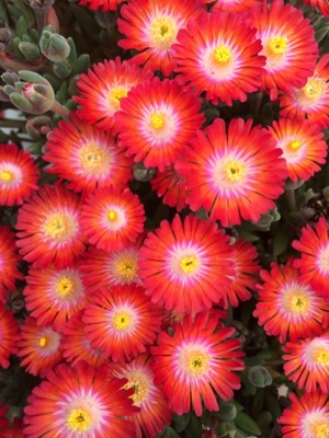 Delosperma Jewel of Desert Grenade flower close-up