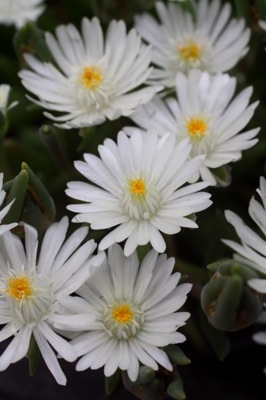 Delosperma Jewel of Desert Moon Stone flower close-up