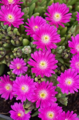 Delosperma Jewel of Desert Opal flower close-up