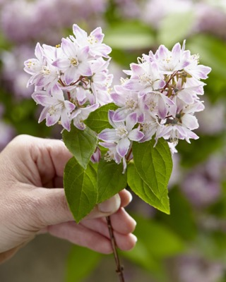 Deutzia Raspberry Sundae flower image