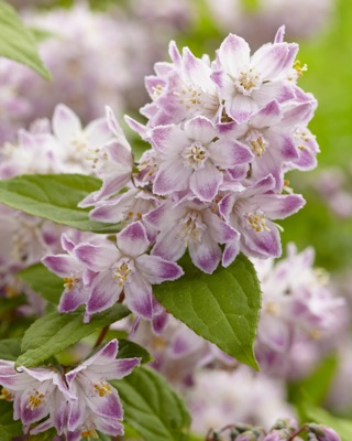 Deutzia Raspberry Sundae flower close-up