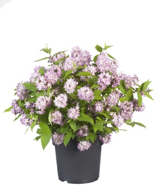 Deutzia Raspberry Sundae in pot