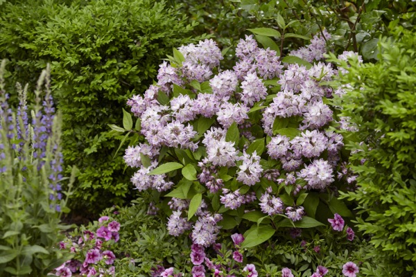 Deutzia Raspberry Sundae in garden