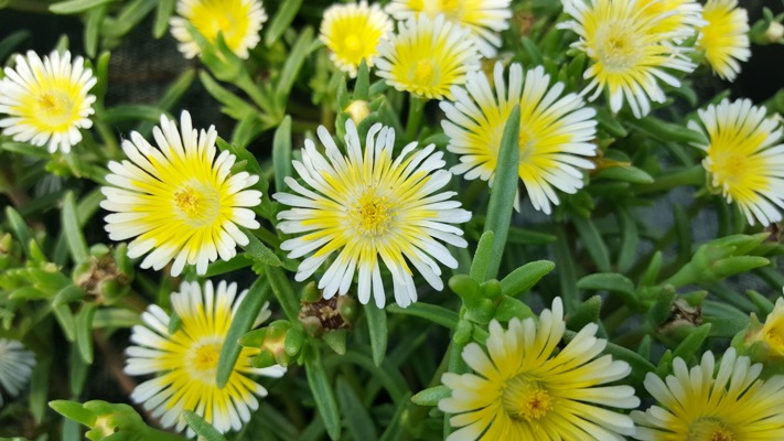 Delosperma Wheels of Wonder® Limoncello flower image