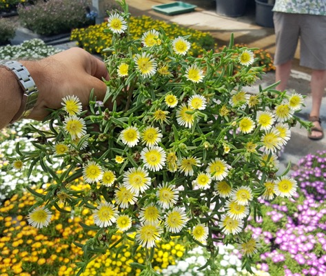 Delosperma Wheels of Wonder® Limoncello in pot