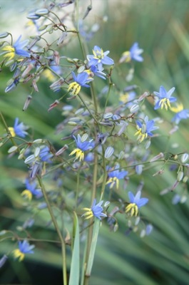 Dianella Coolvista® flower close-up