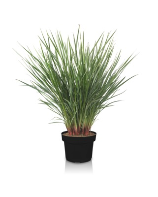 Dianella Coolvista® in pot