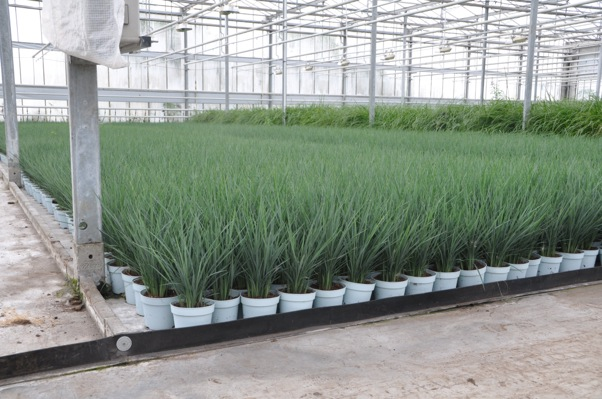 Dianella Coolvista® with nursery