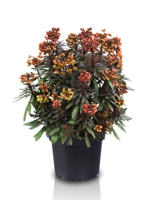 Euphorbia Blackbird in pot