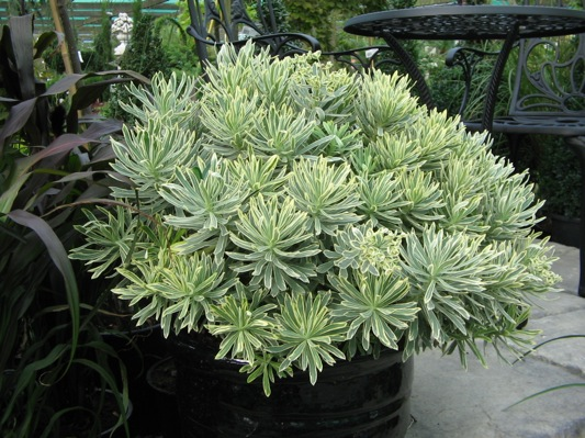 Euphorbia Silver Swan in pot