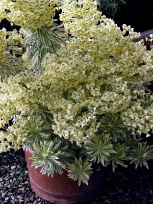 Euphorbia Tasmanian Tiger in pot