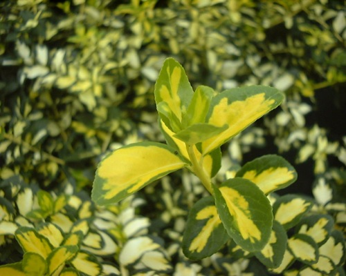 Euonymus Blondy® foliage close-up