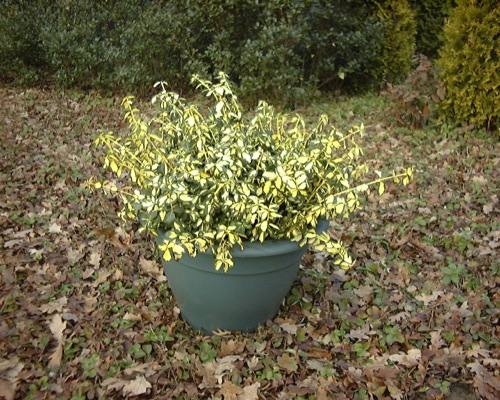 Euonymus Blondy® in pot