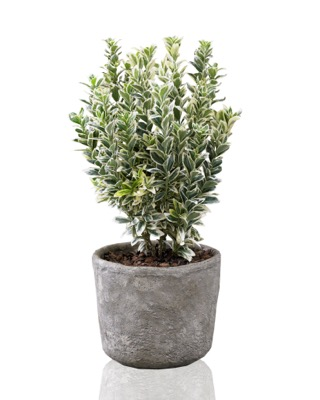 Euonymus White Spire in pot