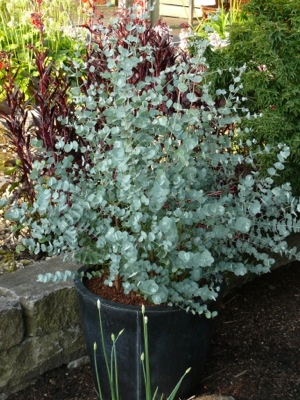 Eucalyptus Azura in pot
