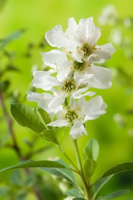 Exochorda Niagara flower close-up