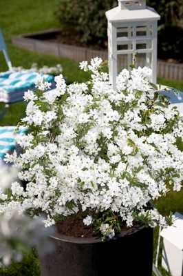 Exochorda Niagara on patio