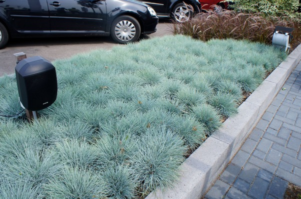 Festuca Intense Blue in garden