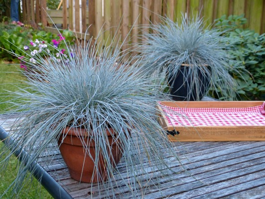 Festuca Intense Blue on patio