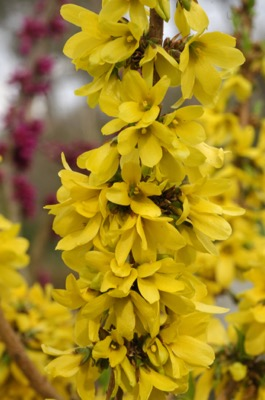 Forsythia Mikador® flower close-up