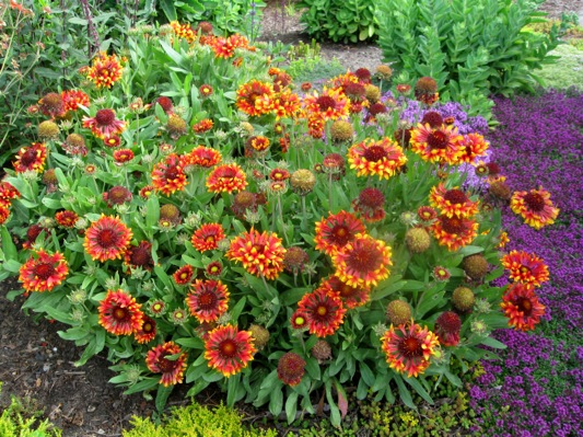 Gaillardia Frenzy in garden