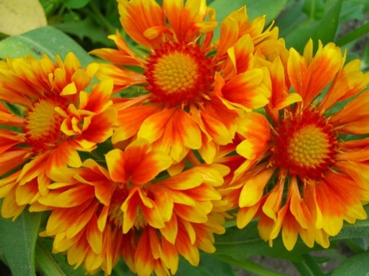 Gaillardia Oranges & Lemons flower close-up