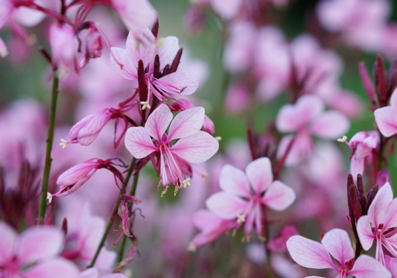 Gaura Baby Butterfly® Dark Pink flower close-up