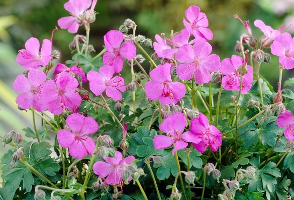 Geranium Westray flower image