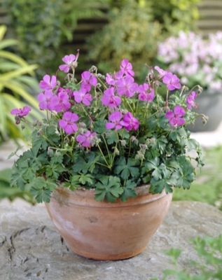Geranium Westray in pot
