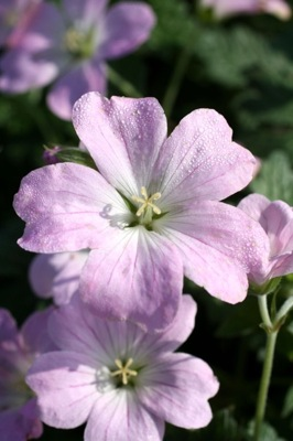 Geranium Dreamland flower close-up