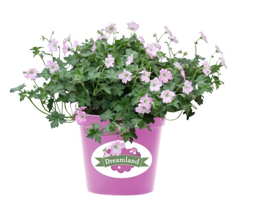 Geranium Dreamland in pot