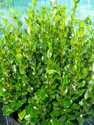 Griselinia Green Horizon foliage