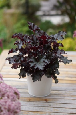 Heuchera Dark Secret in pot