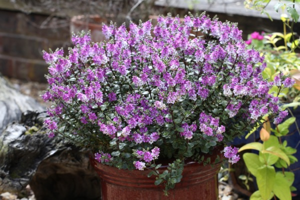 Hebe L. Garden Beauty Purple ('Nold'PBR) - Plantipp