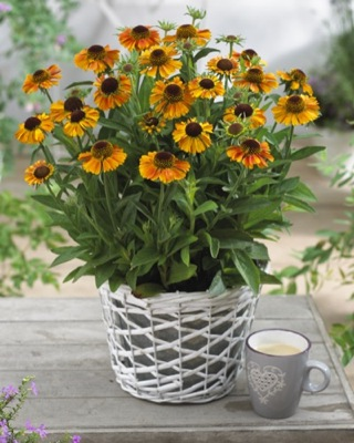 Helenium Short 'n' Sassy on patio
