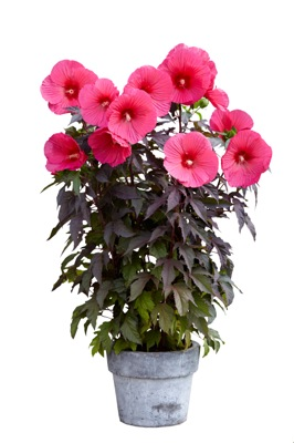 Hibiscus Carousel Pink Passion in pot