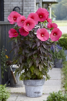 Hibiscus Carousel Pink Passion on patio