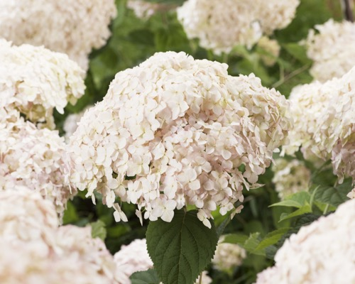 Hydrangea arborescens Candybelle® Marshmallow flower close-up