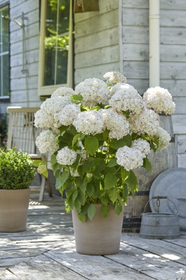 Hydrangea arborescens Candybelle® Marshmallow on patio
