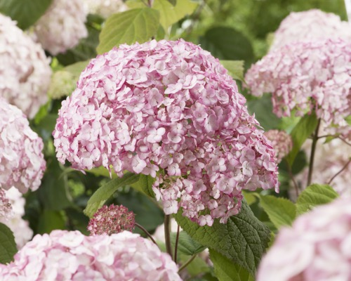 Hydrangea arborescens Candybelle® Bubblegum flower close-up
