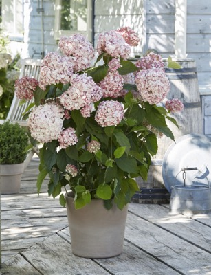 Hydrangea arborescens Candybelle® Bubblegum on patio