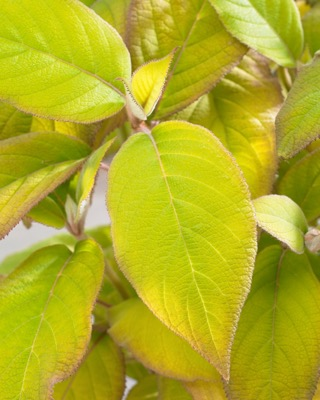 Hydrangea aspera Goldrush foliage close-up