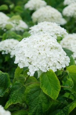 Hydrangea arborescens Golden Annabelle flower close-up