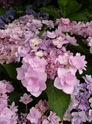 Hydrangea macrophylla You&Me Forever flower close-up