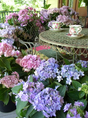 Hydrangea macrophylla You&Me Forever on patio