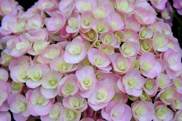 Hydrangea macrophylla Love flower close-up