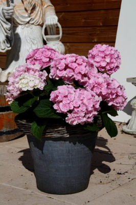 Hydrangea macrophylla Love in pot