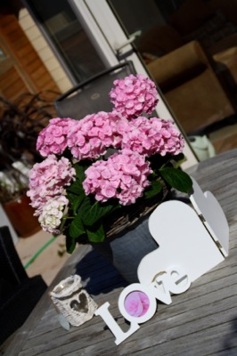 Hydrangea macrophylla Love on patio