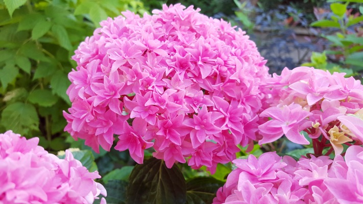 Hydrangea macrophylla You&Me Perfection flower image